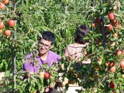 Arbeiten in Australien - Fruit Picking