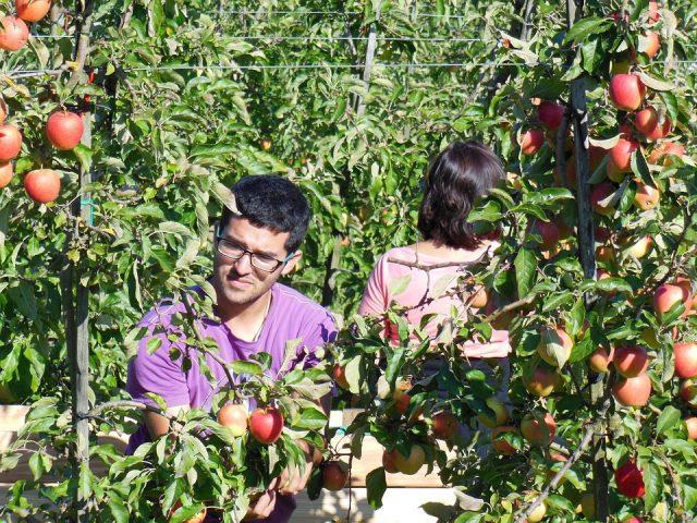 Arbeiten in Australien - Fruit Picking