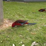 Parrot at Wilsons Promontory Park