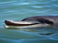 Dolphin - Monkey Mia