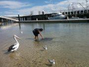 Stachelrochen und Pelikane treffen sich bei Phillip Island
