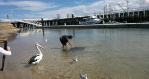 Sting Rays and Pelicans on Phillipp Island