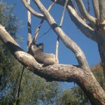 Lazy Koala in Yanchep Nationalpark