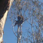Koala lässt seine Seele baumeln