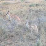 Kängurus in Cape Range
