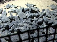 Mon Repos - Turtles